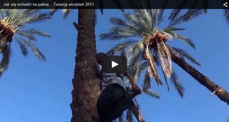 Tunezja wspinanie się na palmę