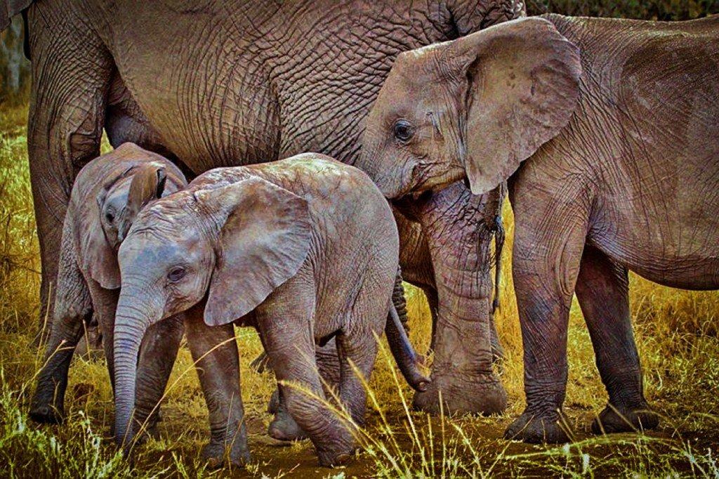 elephants-280394_1280