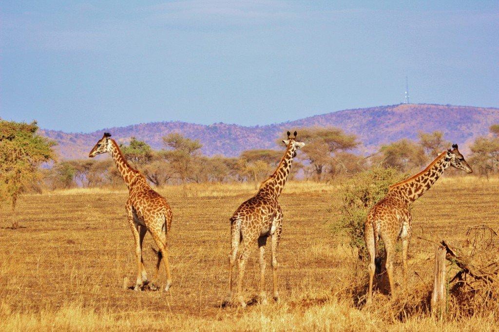 giraffe-278372_1280