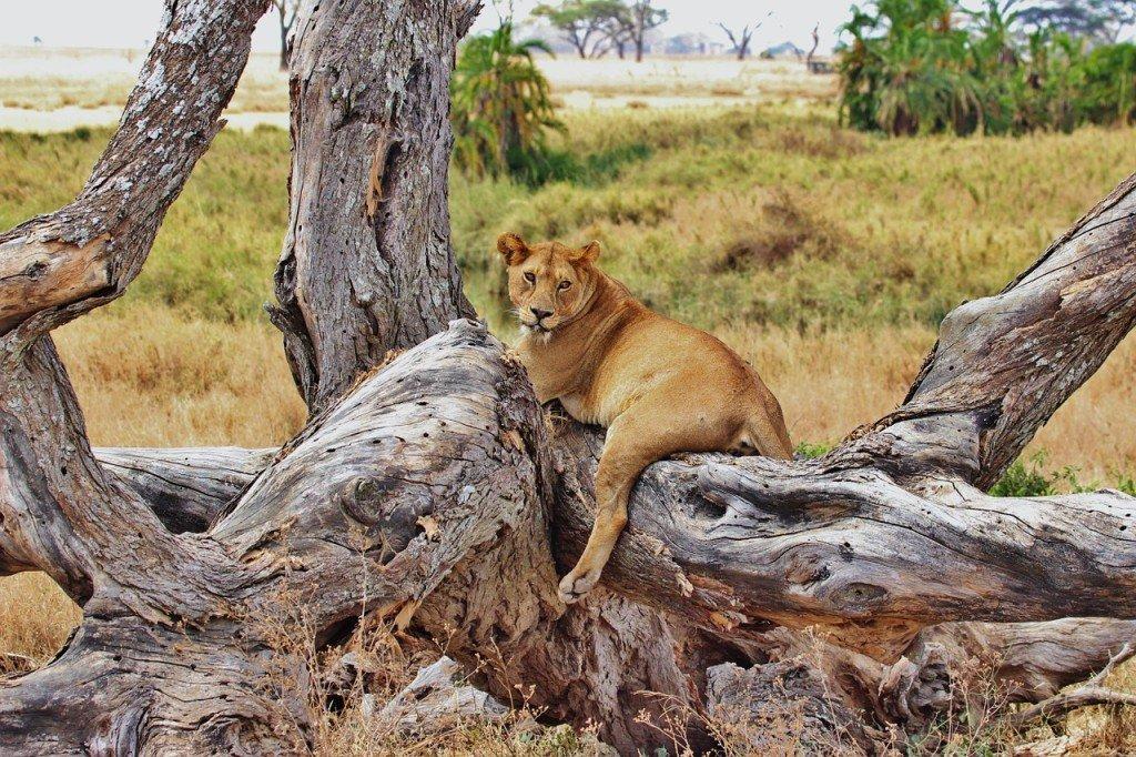lion-277328_1280