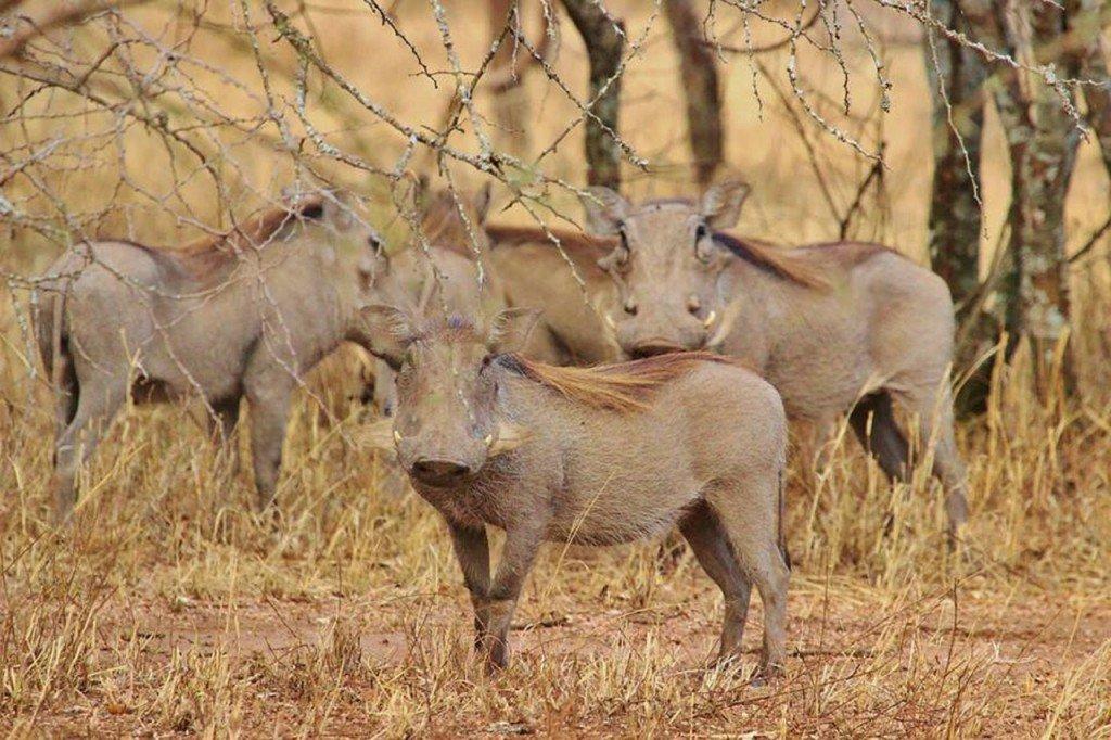 warthogs-278477_1280