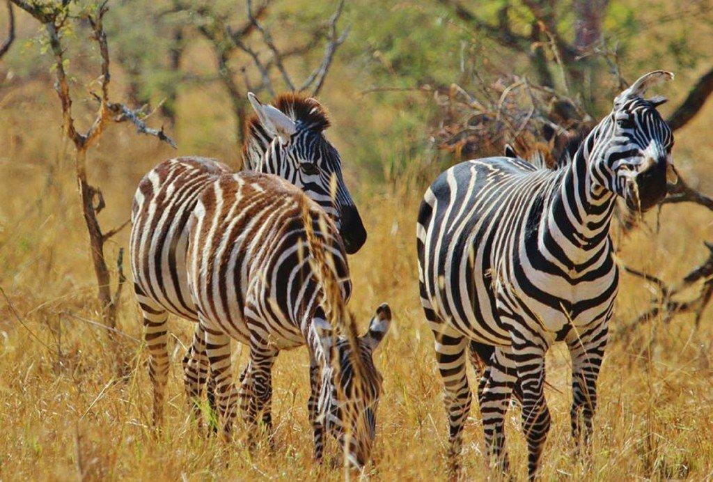 zebra-287319_1280