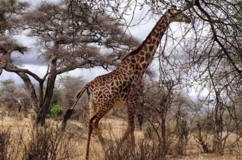 Tanzania Park Narodowy Tarangire safari