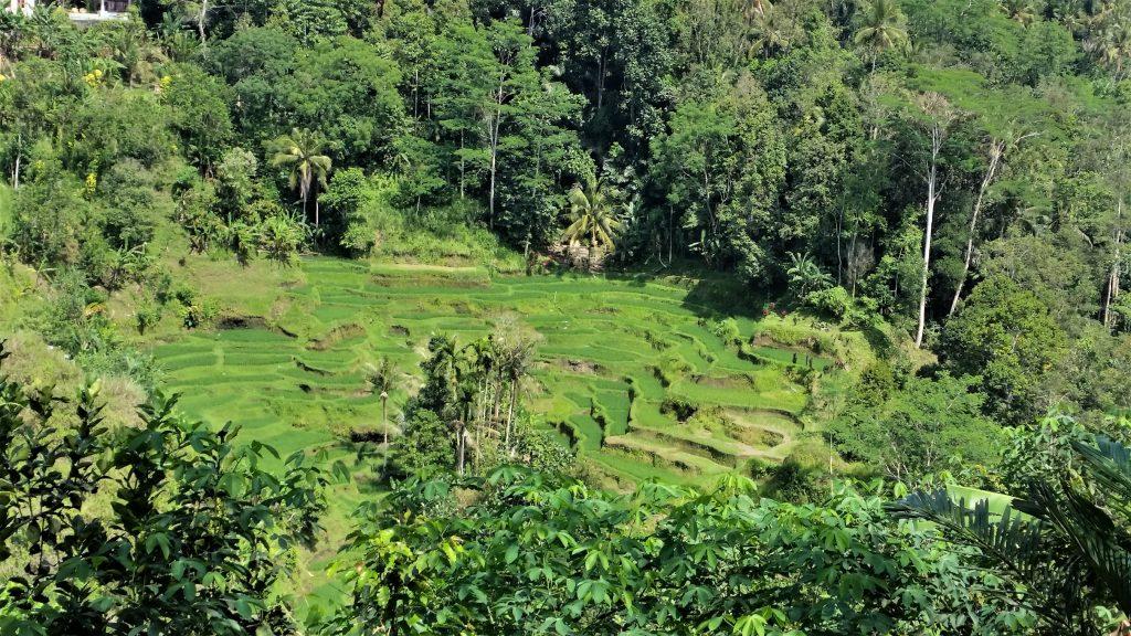 Tarasy ryżowe plantacja kawy kopi luwak