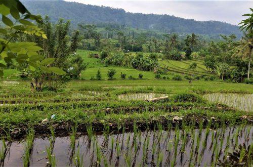 Najpiękniejsze pola ryżowe na Bali