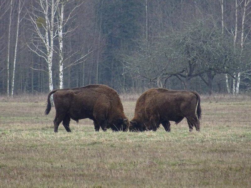 gdzie zobaczyć żubry w Puszczy Białowieskiej