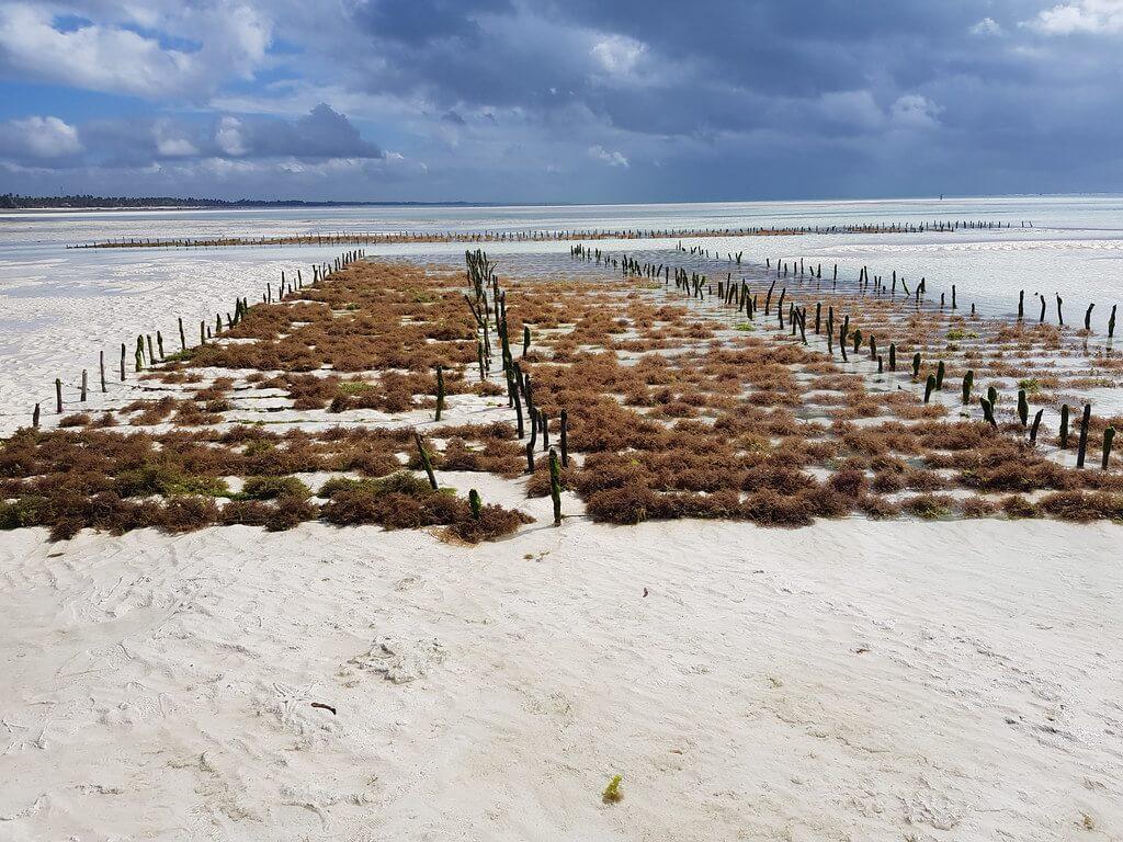 algi na Zanzibarze